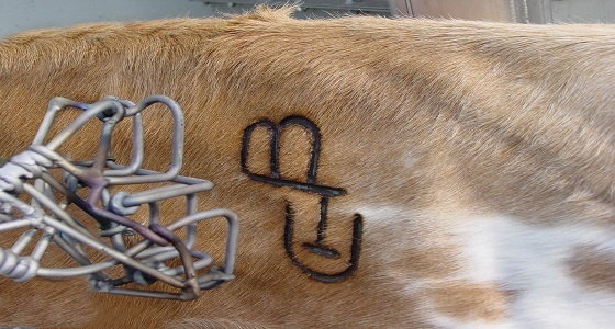 a cow that has been branded