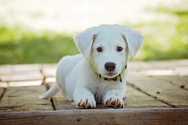 labrador-retriever-puppy